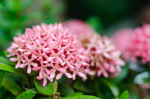boeket van roze ixoras - pauwenkers stockfoto's en -beelden