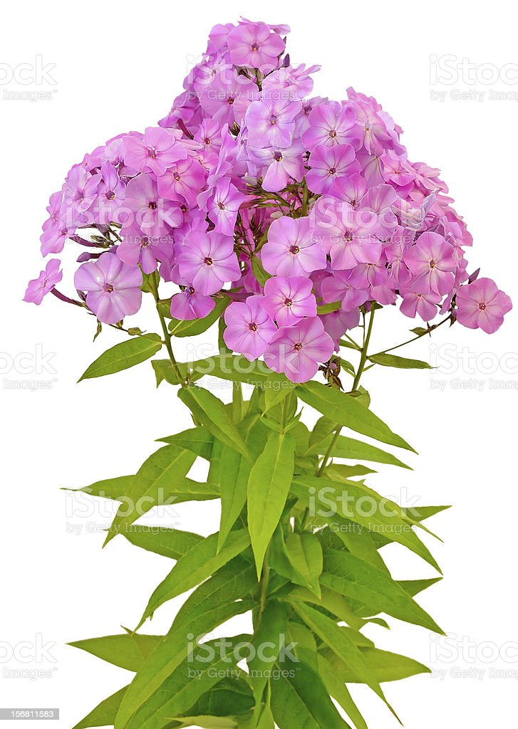 Bouquet of pink phlox stock photo