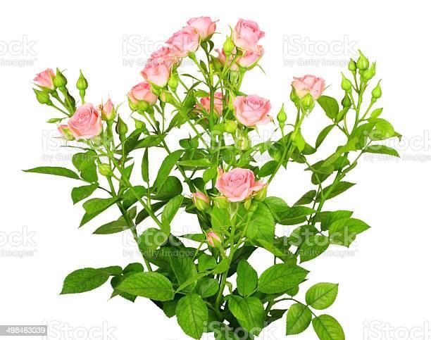 Bouquet of pink roses with green leafes picture id498463039?b=1&k=6&m=498463039&s=612x612&h=kymipjsmplzhfa7vriktjic7qszl3joxxcq 23mfosy=
