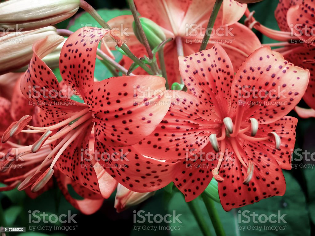 Bouquet Of Pink Tiger Lilies Stock Photo More Pictures Of Bouquet