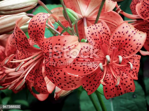 Tiger lily: flower, plant, nature Pink colour