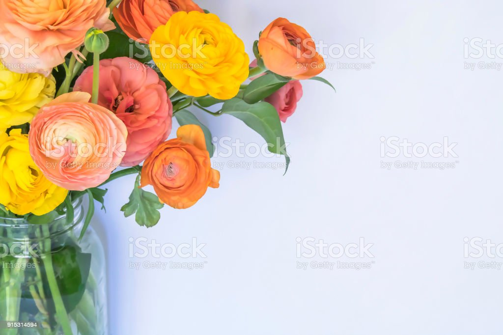 Bouquet of Pink Yellow Orange Peach Ranunculus Flowers Arch Over White Background stock photo