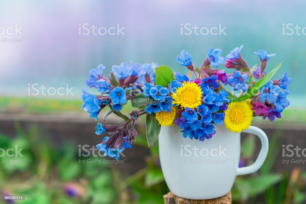 Bouquet of primroses blue lungwort in white enameled metal mug on grass and flowers background with space for text, vintage, zbiór zdjęć royalty-free