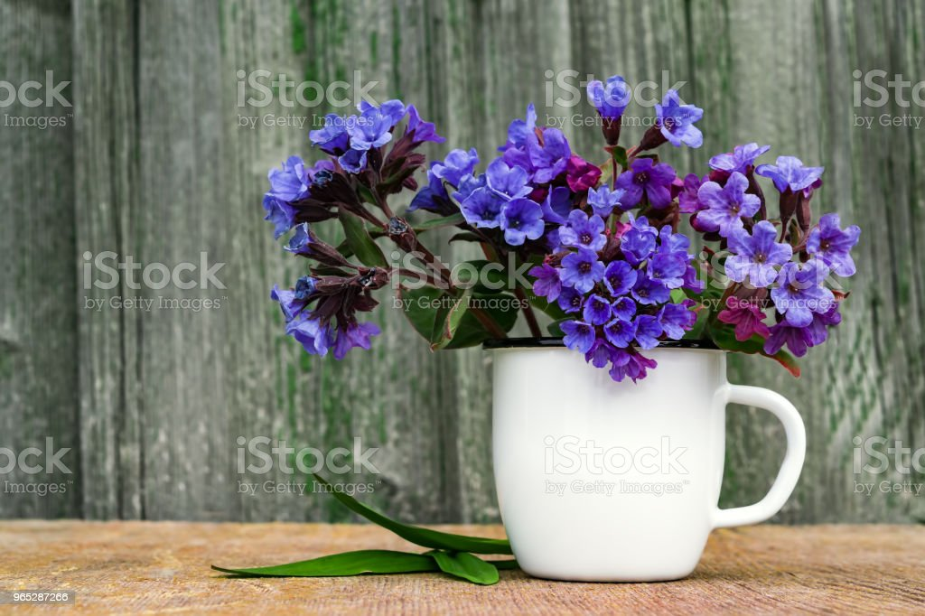 Bouquet of primroses blue lungwort in white enameled metal mug on table and vintage background, grunge with place for text, vintage, royalty-free stock photo