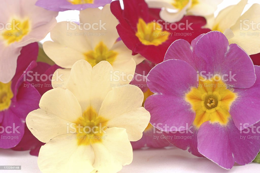 bouquet of primroses royalty-free stock photo