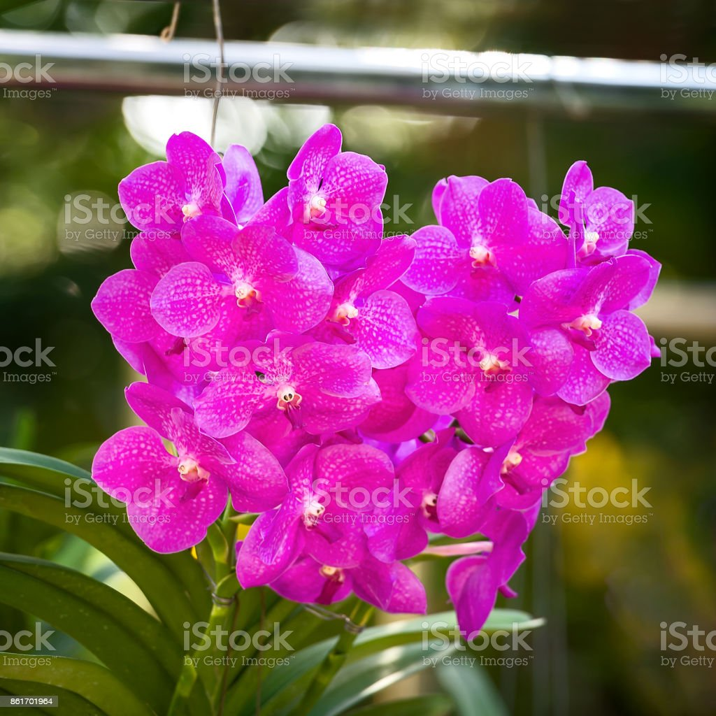 Bouquet of purple orchids.(Vanda) stock photo