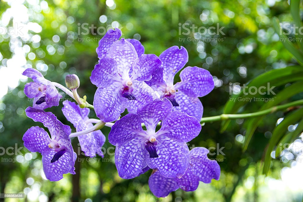 Bouquet of purple orchids.Vanda Coerulea Flower stock photo