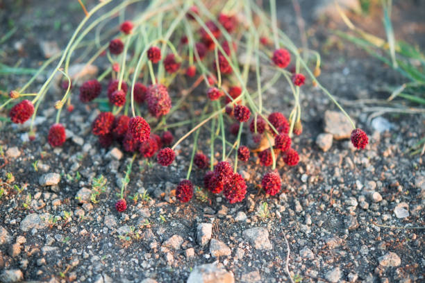 bouquet of red burnet on the ground - bioremediation stock photos and pictures