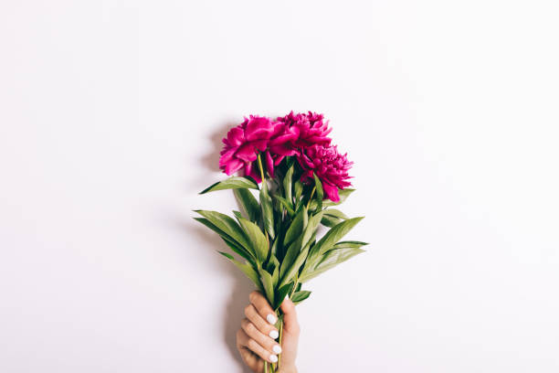 bouquet of red peonies in a female hand with a manicure on a white background - bouquet stock photos and pictures