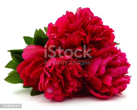Bouquet of red peonies isolated on a white background.