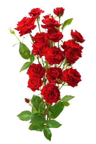 Bouquet of red roses picture id1098411690?b=1&k=6&m=1098411690&s=612x612&w=0&h=ut3w44ywb f0a9hgtyzu8nycj42jyqq q5bdf841nps=