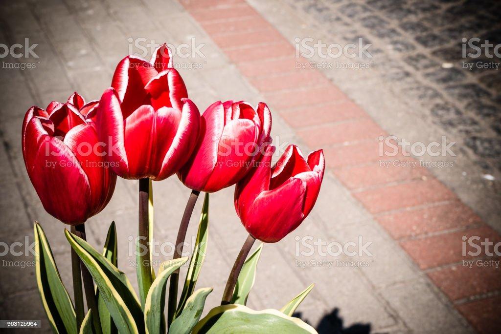 Bukett Röda tulpaner blommor - Royaltyfri Alla hjärtans dag Bildbanksbilder