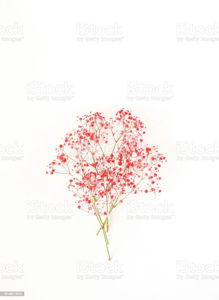 bouquet of red-pink flower hypsophila on white background. minimal flowers background. top view. copy space stock photo