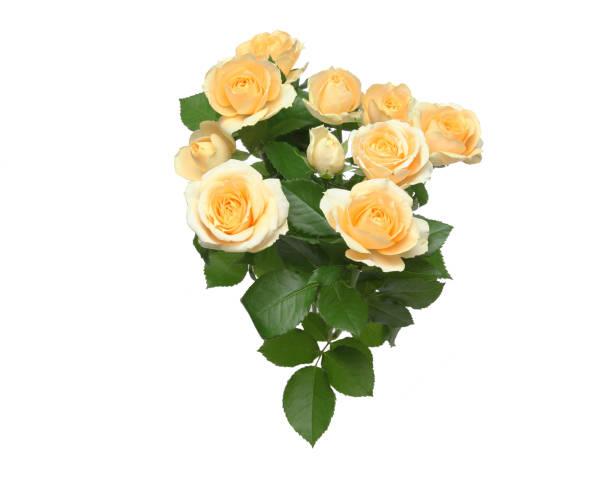 Bouquet of roses in a white background picture id937073764?b=1&k=6&m=937073764&s=612x612&w=0&h=zgfjgljirpblrih7dyew 1tagyt88zdbinrwgpt nsa=