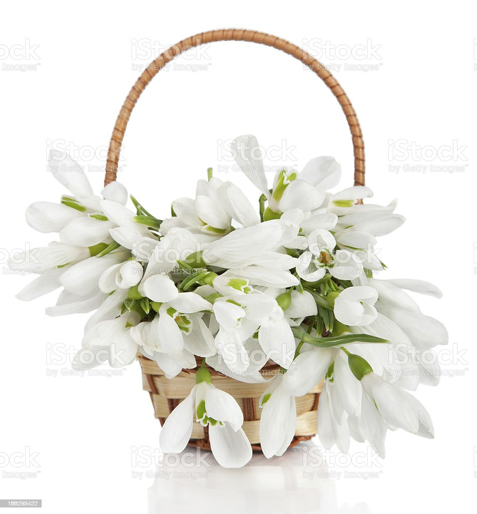 Bouquet of snowdrop flowers in basket  isolated royalty-free stock photo