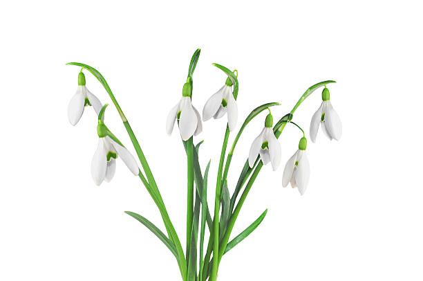 bouquet of snowdrops, isolated on white - snowdrops stock photos and pictures