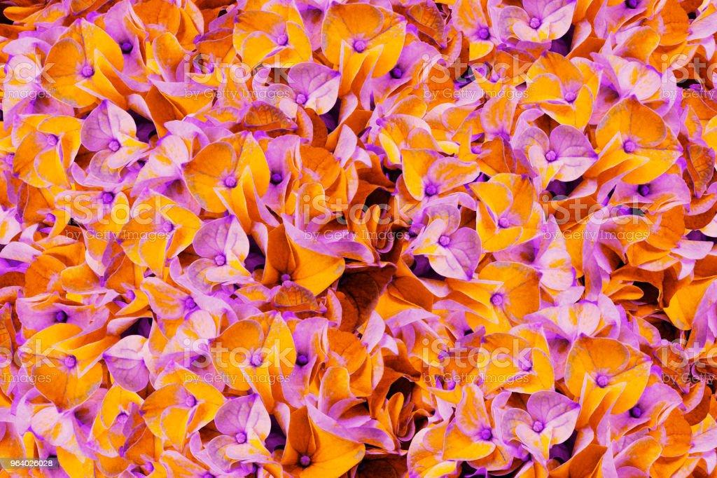 A bouquet of spring flowers of light orange-violet  hydrangeas.  Background of flowers  orange-pink  hydrangeas close-up. For design. Nature. - Royalty-free Abundance Stock Photo