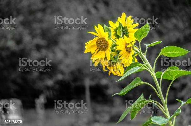 Photo of A Bouquet of Sunflowers