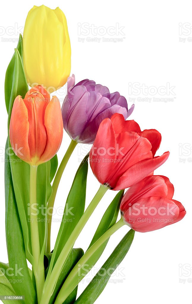 bouquet of tulips in five different colors stock photo