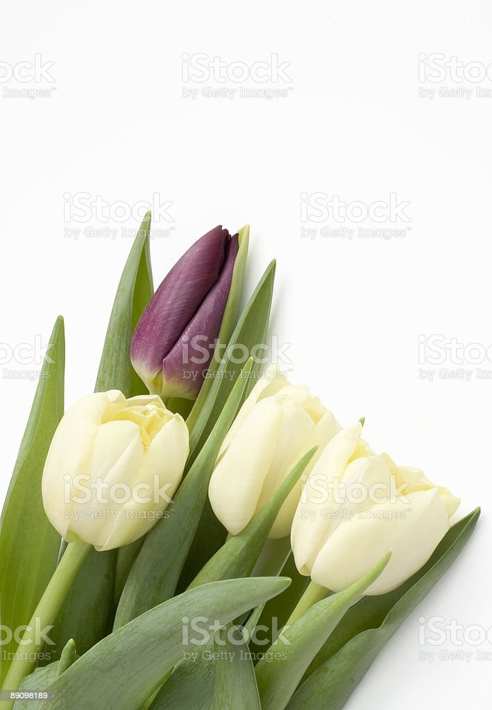 Bouquet of Tulips isolated on white royalty-free stock photo
