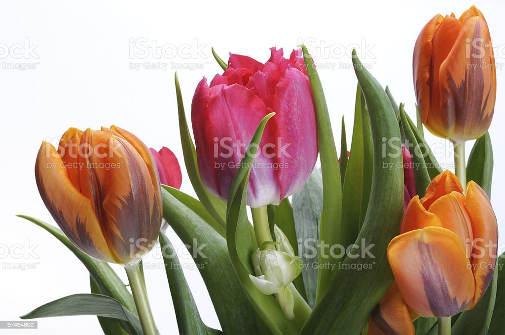 Bouquet of tulips on a white background royalty-free stock photo