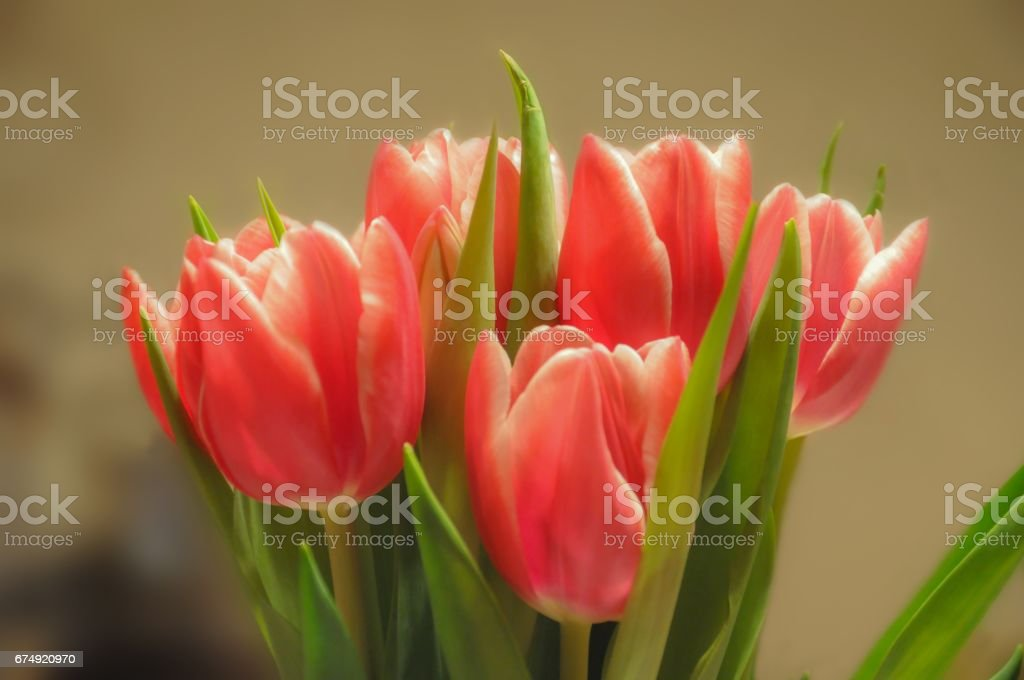 bouquet of tulips royalty-free stock photo