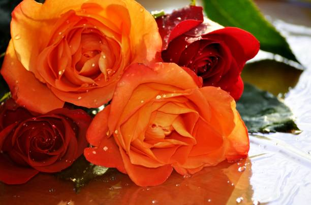 Bouquet of vibrant wet roses. Close-up of beautiful, colorful roses with water drops. sentimentality stock pictures, royalty-free photos & images