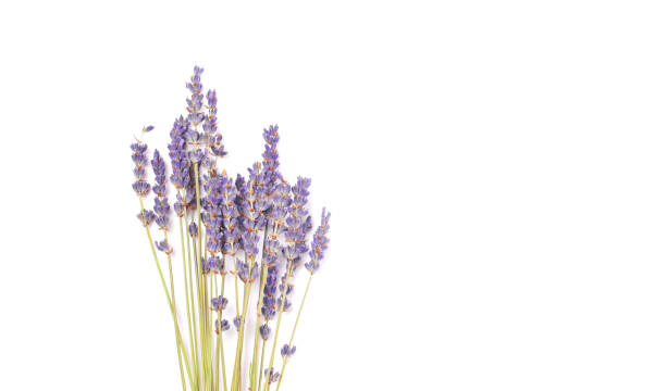 bouquet of violet lilac purple lavender flowers arranged on white table background. top view, flat lay mock up, copy space. minimal background concept. dry flower floral composition isolated on white. - colore lavanda foto e immagini stock