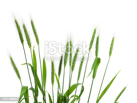 DSLR photo of a dozen of fresh green wheat spikes isolated on white background.Spikes are arranged in a row on by one.The direction of ears is upward in horizontal composition.The image was shot with a medium format DSLR camera Hasselblad H4D in studio.