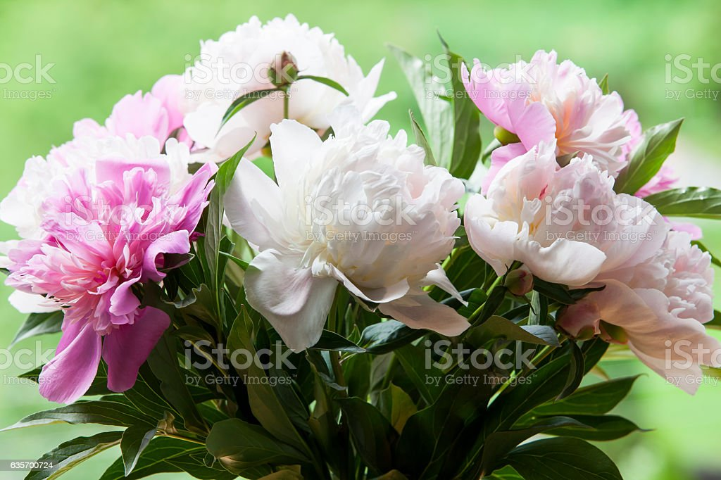Bouquet of white and pink peonies. royalty-free stock photo