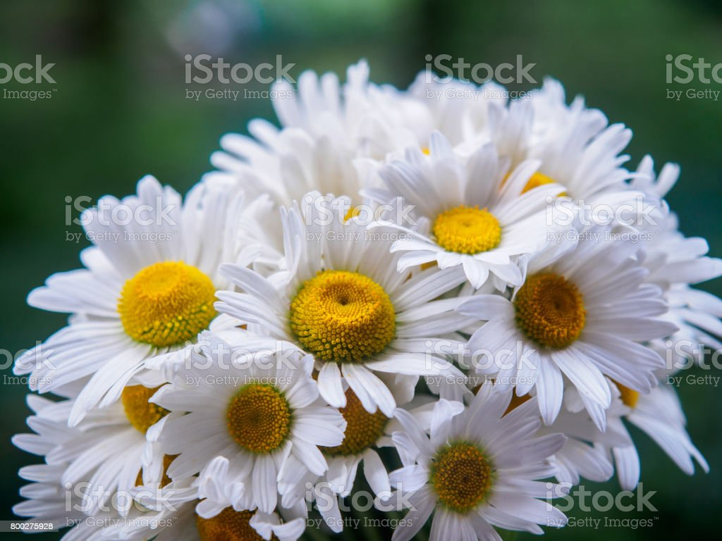 A Bouquet Of White Field Daisies On A Green Blurred Background