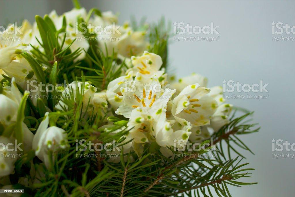 Bouquet of white flowers Leucojum and needles. Leucojum vernum, called spring snowflake flower royalty-free stock photo