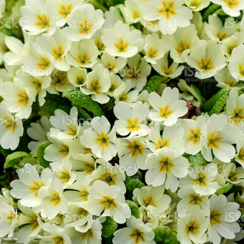 Bouquet Of White Flowers On A Flower Bed In Springtime Squarenature