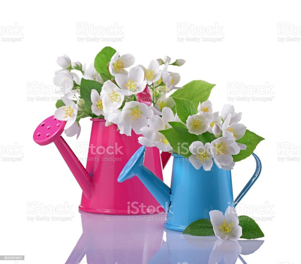 Bouquet of white jasmine flowers with leaves in pink and blue bouquet of white jasmine flowers with leaves in pink and blue watering cans royalty free izmirmasajfo