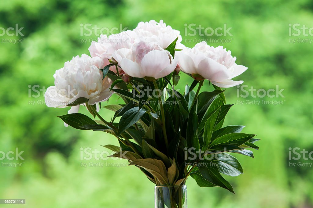 Bouquet of white peonies. royalty-free stock photo