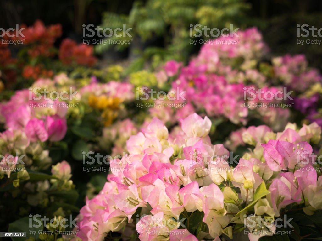 bouquet de fleurs de bougainvillier rose blanche fleur – photos et