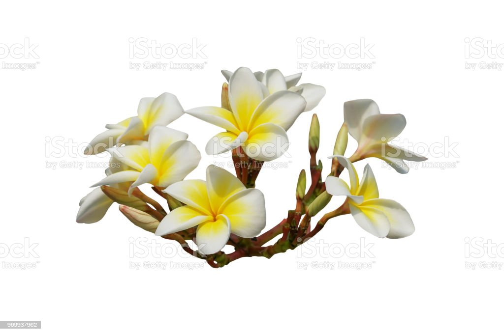 bouquet of white plumeria flower isolated on white included clipping path stock photo
