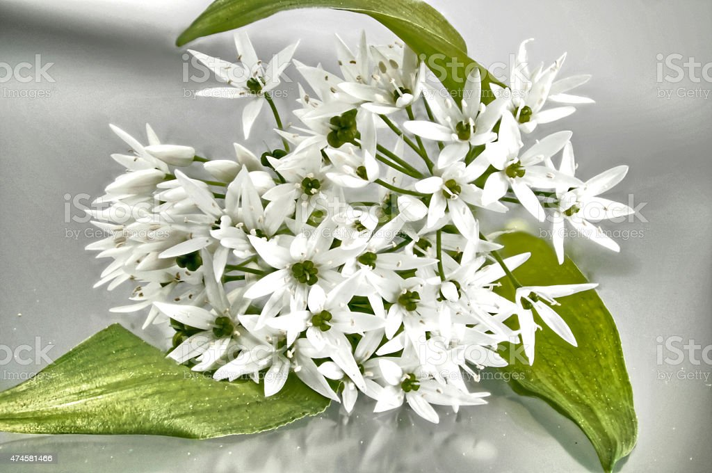 Bouquet of white wild garlic flowers stock photo