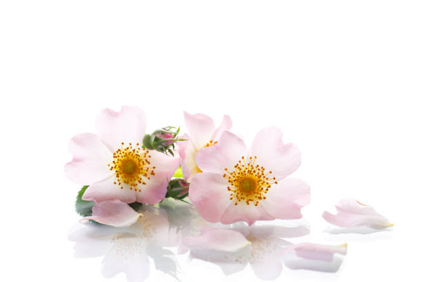 Bouquet of wild rose Bouquet of wild rose on white background wild rose stock pictures, royalty-free photos & images