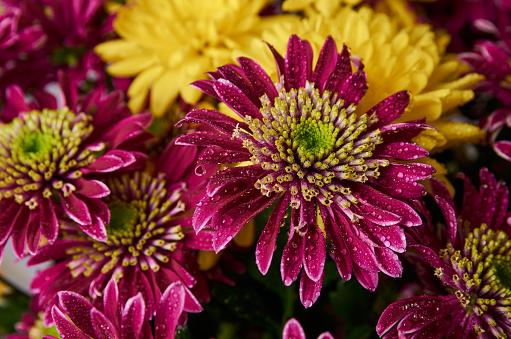 large chrysanthemum flowers close