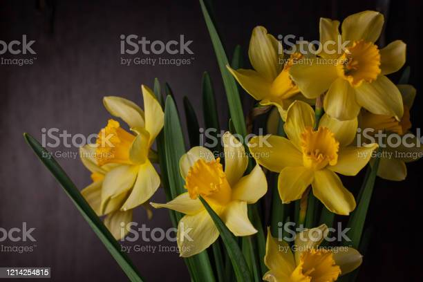 Bouquet of yellow daffodils on dark background spring blooming blog picture id1214254815?b=1&k=6&m=1214254815&s=612x612&h=awgcvfecyvpmtciupw hdtu6uksbdtqg36nl kfjv2w=