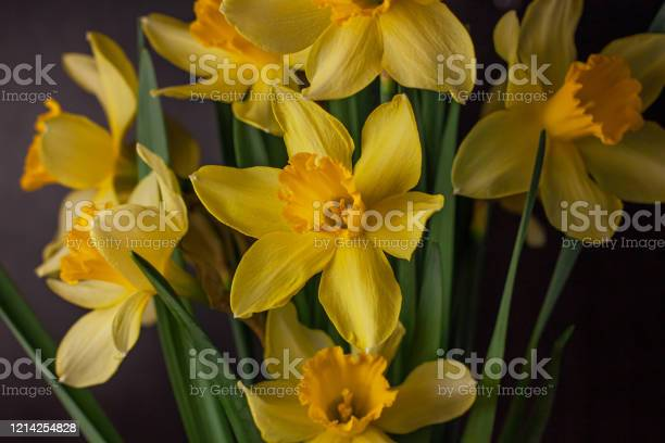 Bouquet of yellow daffodils on dark background spring blooming blog picture id1214254828?b=1&k=6&m=1214254828&s=612x612&h=cmjh02rnknxyrr vdyaoa cxw bf0rvlf5yuxdhd ve=