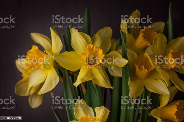 Bouquet of yellow daffodils on dark background spring blooming blog picture id1216777679?b=1&k=6&m=1216777679&s=612x612&h=4 hozzgiq csjqq2oqcdfg0mbowlro9fr4xhbfnoo5i=