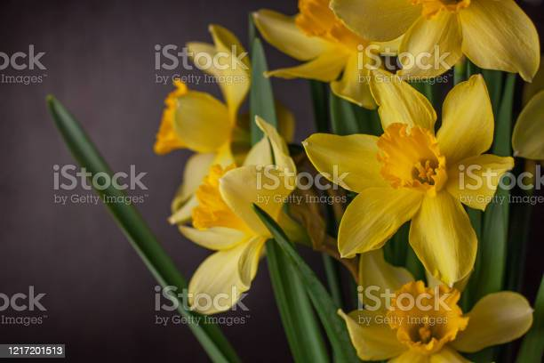 Bouquet of yellow daffodils on dark background spring blooming blog picture id1217201513?b=1&k=6&m=1217201513&s=612x612&h=757tlqvbcznckbk18hw2ny dxxk3k6avxhukef0 gpi=
