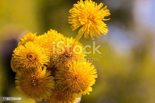 Bouquet of yellow dandelions. Field flowers. Spring, summer, flowering. Bee, sun.