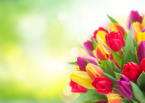 bouquet of yellow, purple and red tulips stock photo
