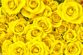 bunch of yellow roses full frame photography