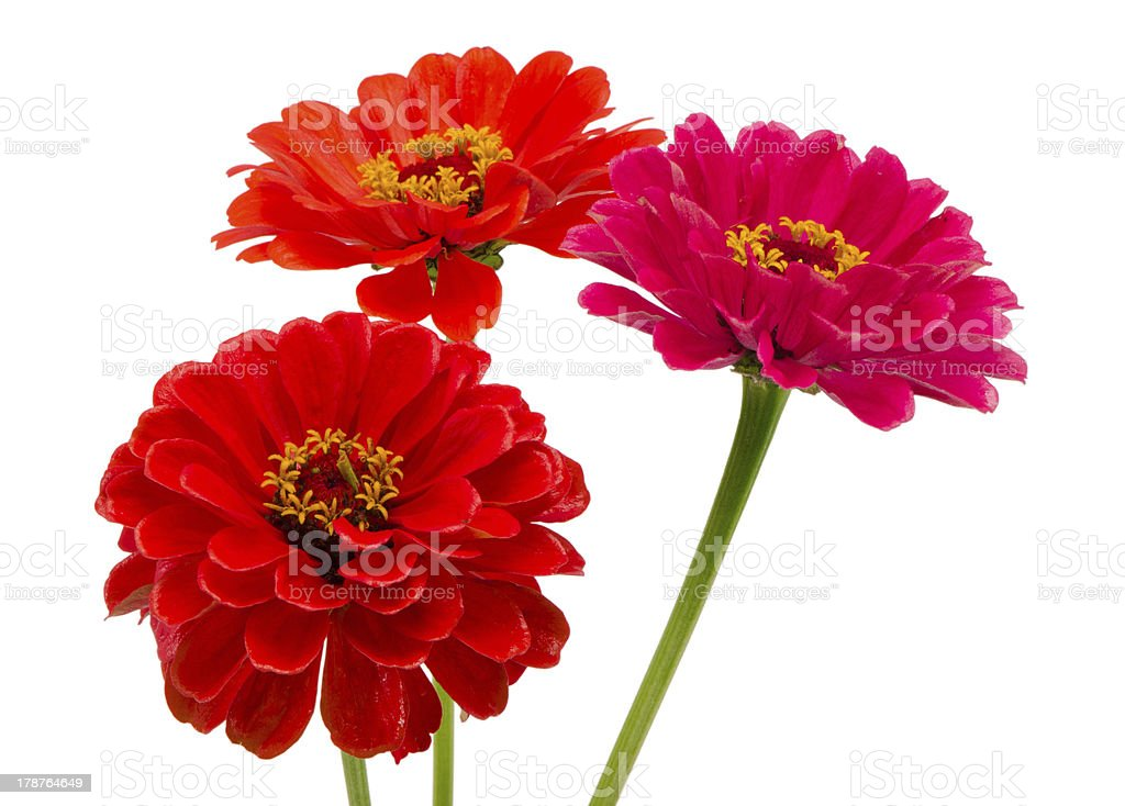 bouquet orange red zinnia flowers isolated white stock photo