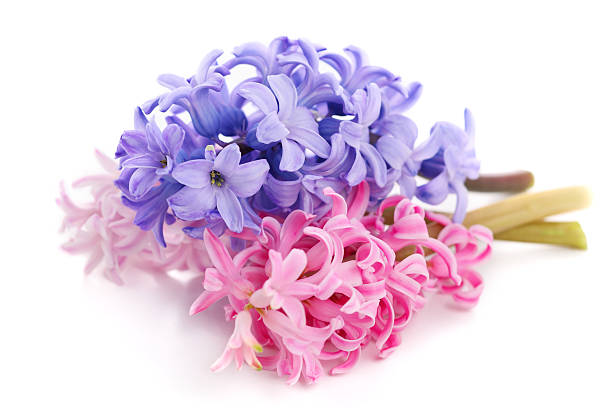 Bouquet violet hyacinth isolated on white background stock photo