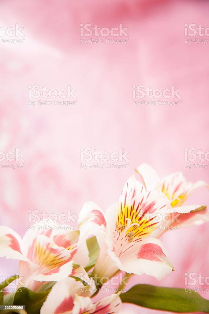 Bouquet white, pink spring alstroemeria flowers on pink background. stock photo
